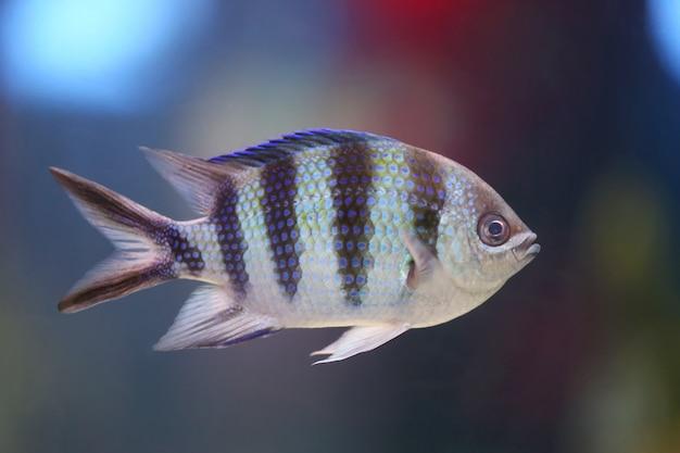 Sierżant bengalski ryby pływanie pod wodą.