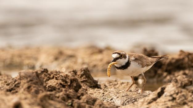 Sieweczka rzeczna, ptak charadrius dubius z larwą w dziobie. ścieśniać.