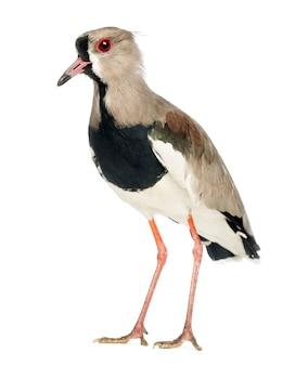 Sieweczka srokata, vanellus cayanus, znana również jako czajka srokata na tle białej przestrzeni