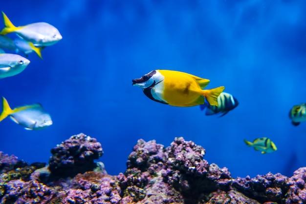 Siganus vulpinus lis twarz ryb w akwarium