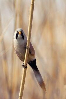 Sikora bernikla, samiec - trzcina (panurus biarmicus).
