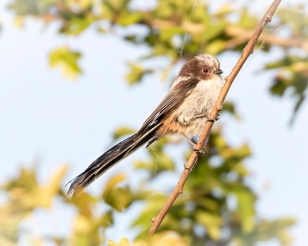 Sikora długoogoniasta w słońcu siedząca na gałęzi w złotej godzinie