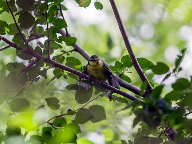 Sikora modra siedząca na gałęzi w lesie