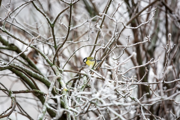 Sikora, parus na gałęzi drzewa szukający pokarmu dla ptaków zimą