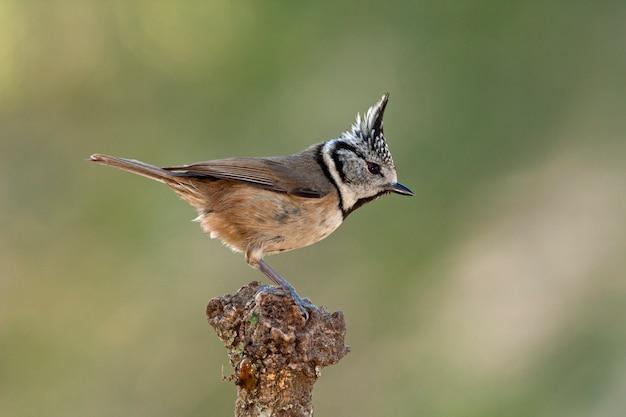 Sikora, sikora, ptaki, ptaki śpiewające, relief, lophophanes cristatus