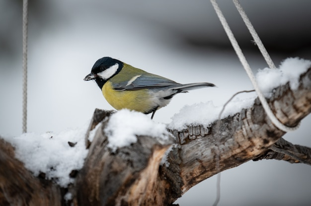 Sikora w lesie, płatki śniegu i ładny oddział porostów w pobliżu jeziora bajkał.