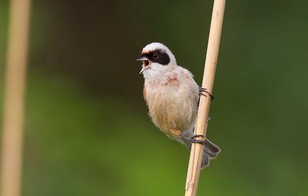 Sikora wahadłowa zwyczajna. ptak śpiewa siedząc na trzcinie