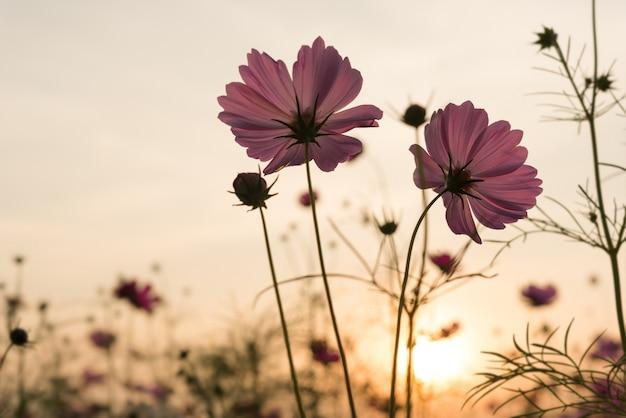 Silhouette różowe kwiaty kosmosu w ogrodzie