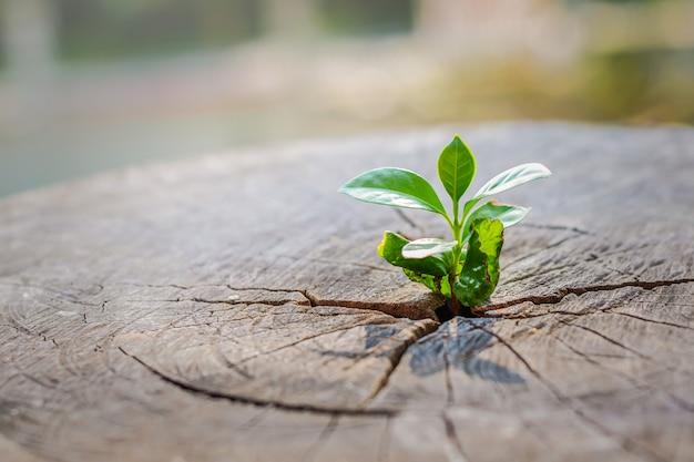 Silna sadzonka rosnąca w środkowym pniu ściętego pnia drzewa nowego życia