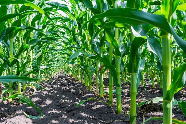 Silne, nawet rośliny kukurydzy na polu, w fazie formowania się skały