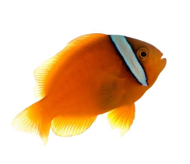 Siodłowa anemonefish - amphiprion ephippium na bielu