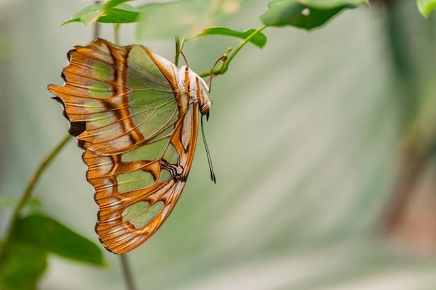 Siproeta stelenes, malachitowy motyl