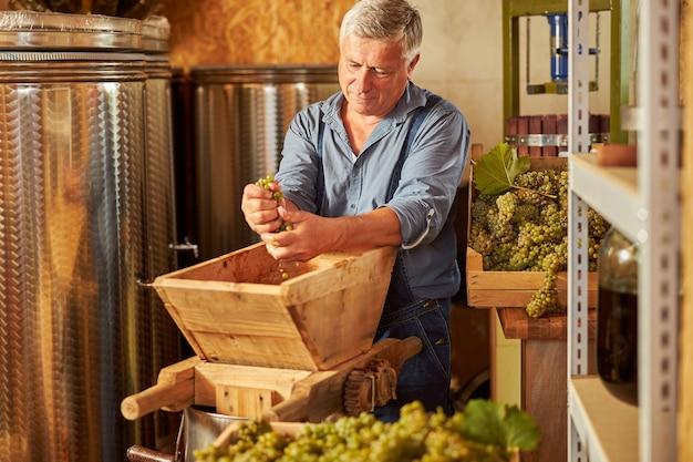 Siwowłosy starszy mężczyzna cierpliwie miażdżący winogrona do produkcji białego wina