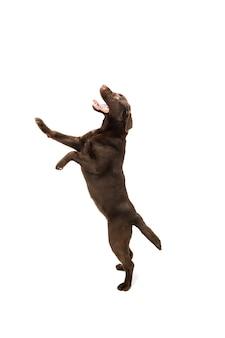 Skacząc wysoko. brązowy, czekoladowy labrador retriever grający na białym studio.