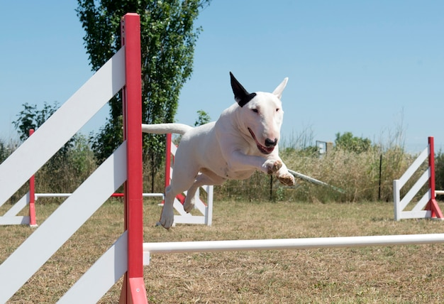 Skaczący bull terrier