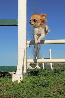 Skaczący chihuahua w zawodach agility