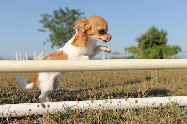 Skaczący chihuahua