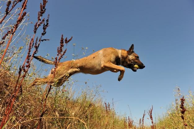 Skaczący malinois