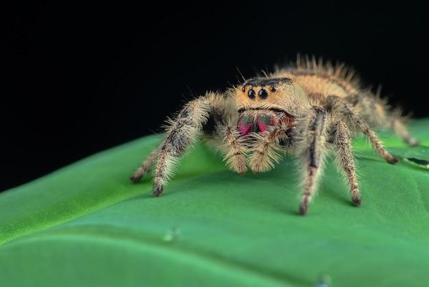 Skaczący pająk na zielonym liściu