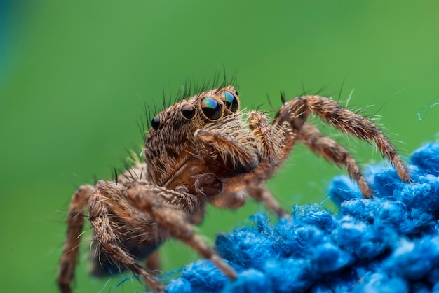 Skaczący pająk z bliska