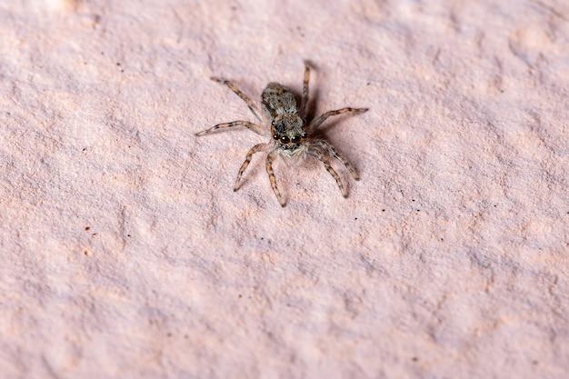 Skaczący pająk z gatunku menemerus bivittatus