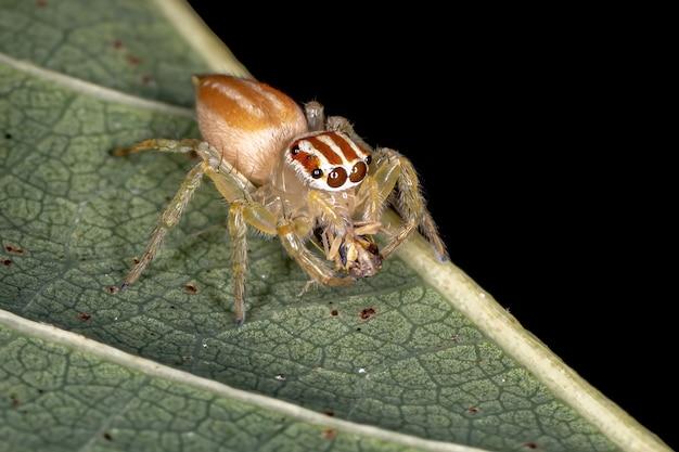 Skaczący pająk z rodzaju chira