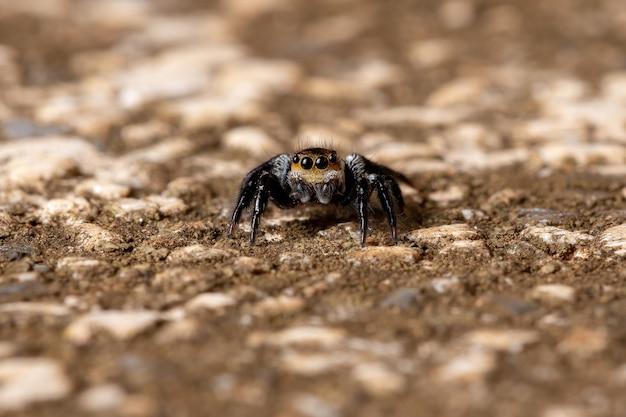 Skaczący pająk z rodzaju genus corythalia na powierzchni betonu gatunek wyspecjalizowany w drapieżnych mrówkach