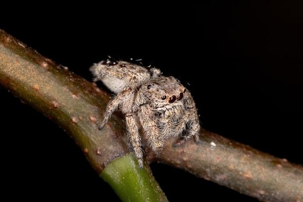 Skaczący pająk z rodzaju metaphidippus