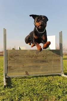 Skaczący rottweiler