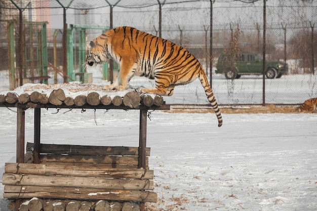 Skaczący Tygrys Syberyjski Premium Zdjęcia