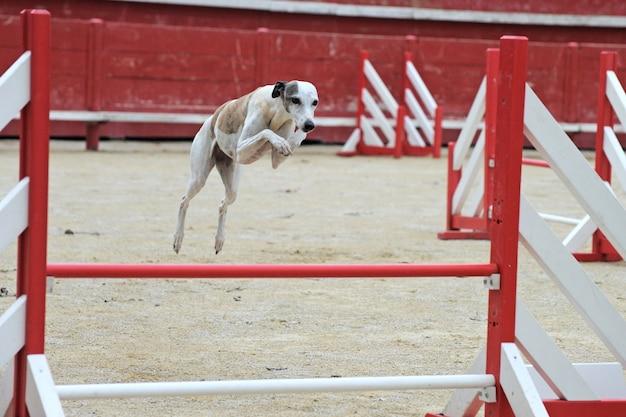 Skaczący whippet w zawodach agility