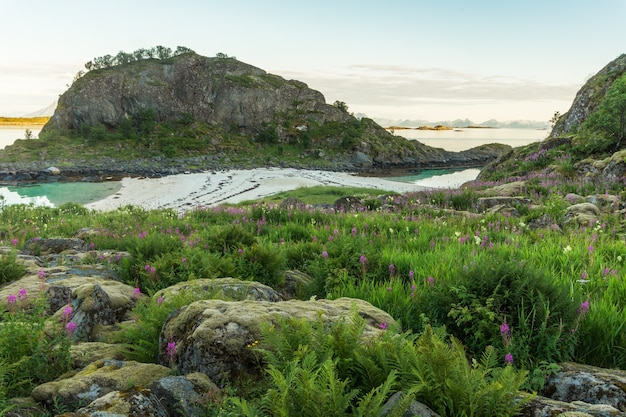 Skaliste wybrzeże z kwitnącymi ziołami i piaszczysta plaża w pobliżu wysepki trollskarholmen, arstein, lofoty, norwegia
