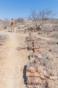 Skamieniały i zmineralizowany pień drzewa. turysta w sławnym osłupiałym lasowym parku narodowym przy khorixas, namibia, afryka. lasy liczące 280 milionów lat, koncepcja zmiany klimatu