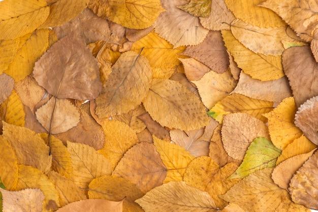 Skład zebranych żółtych opadłych liści