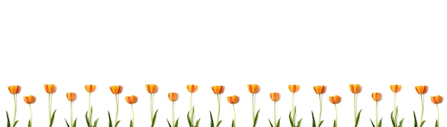 Skład żółci i czerwoni tulipany kwitnie z kopii przestrzenią odizolowywającą na białym tle. koncepcja na wakacje.