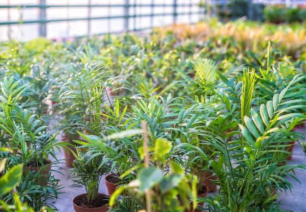 Sklep szklarniowy z roślinami i kwiatami do sprzedaży w szkółce roślin. rośliny zielone doniczkowe