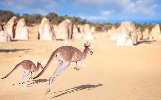 Skok rodziny kanggaroo w parku skalnym pinnacles na pustyni nambung