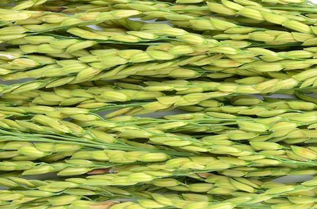 Skok z ryżu