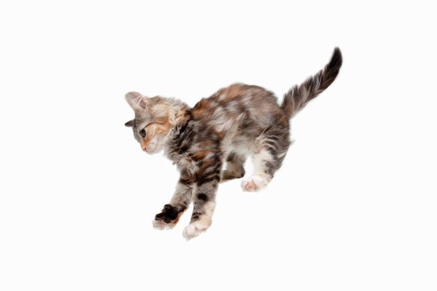 Skoki. figlarny multicolor kotek kota syberyjskiego na białym tle na tle białego studia. zdjęcie studyjne. koncepcja ruchu, działania, miłości zwierząt, zwierzęcej łaski. wygląda na szczęśliwą, zachwyconą, zabawną. miejsce.