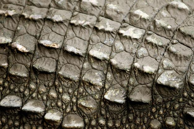Skóra duży krokodyl na gospodarstwie rolnym, tajlandia