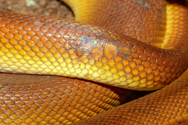 Skóra węża pythona z białymi ustami