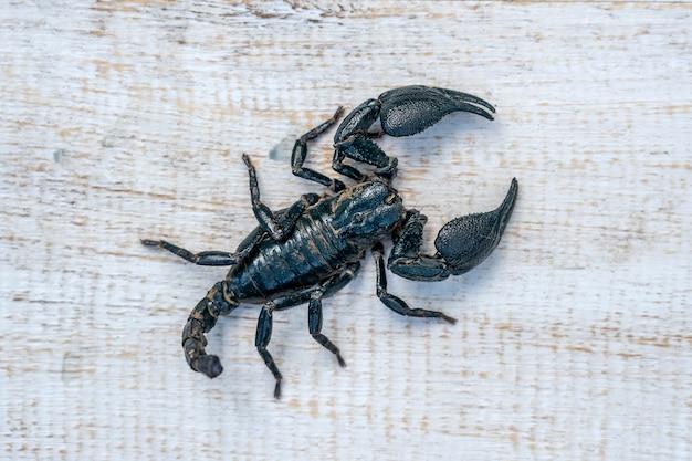 Skorpion azjatycki czarny na białym tle drewnianych w ubud, wyspa bali, indonezja. ścieśniać