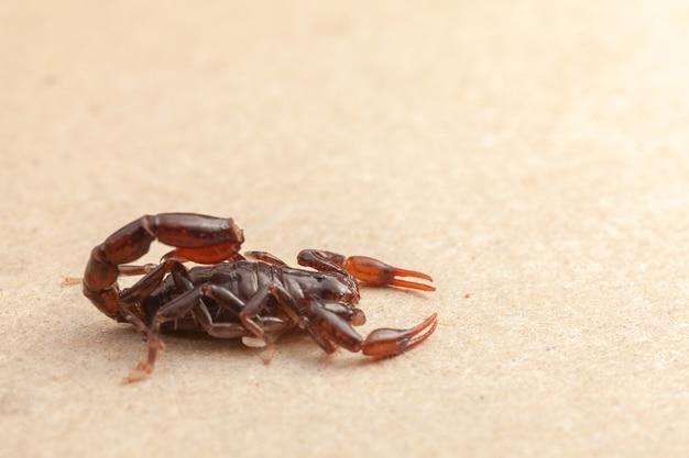 Skorpion bardzo blisko pełen szczegółów bothriurus - trujące zwierzę