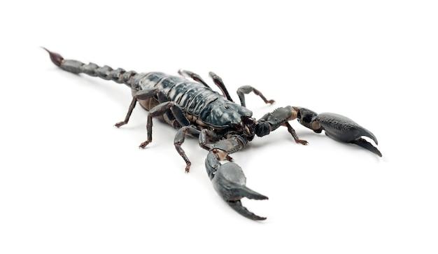 Skorpion cesarski, pandinus imperator, na białej powierzchni