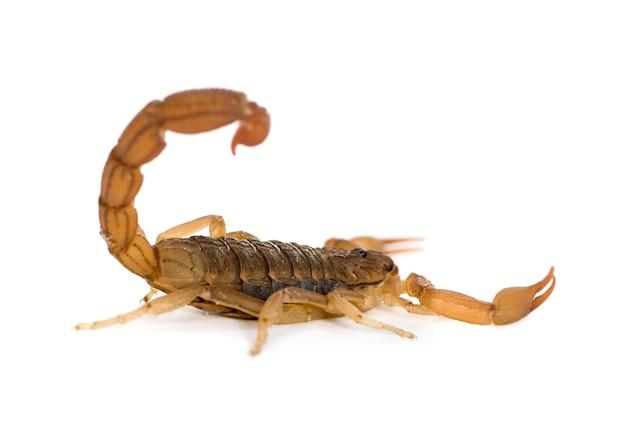 Skorpion - hottentotta hottentotta na białym tle