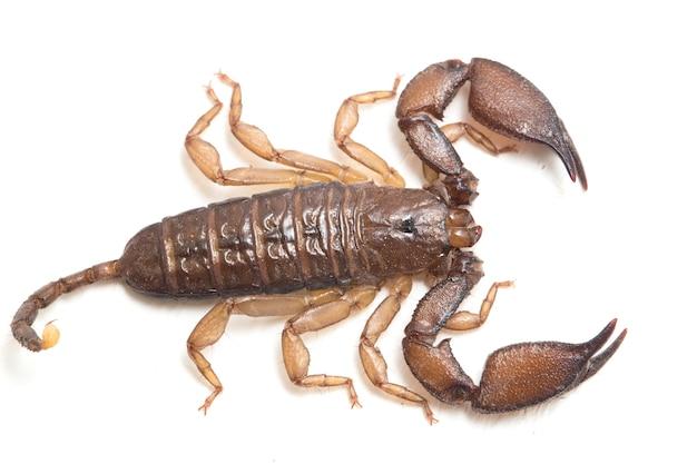 Skorpion karłowaty na białym tle