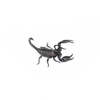 Skorpion na białym tle