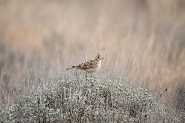 Skowronek, alauda arvensis, ptak śpiewający w pięknym wiosennym świetle.