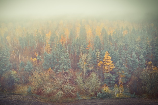 Skraj jesiennego lasu sosnowego we mgle