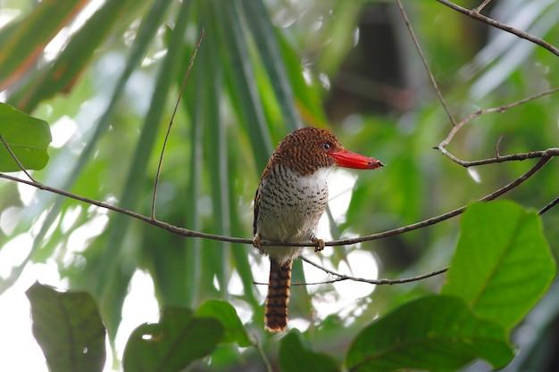 Skrzyknący zimorodka lacedo pulchella piękni żeńscy ptaki tajlandia